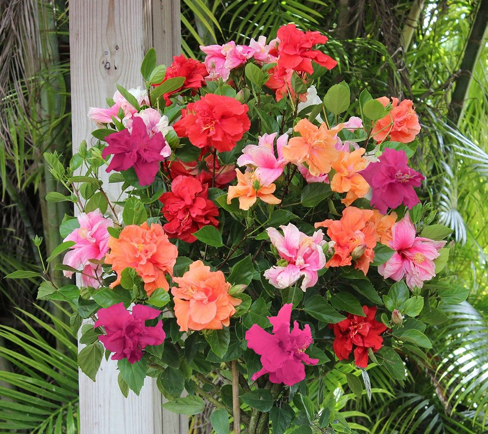 Cottage farms braided double flower hibiscus 4 color tree page 1 cottage farms braided double flower hibiscus 4 color tree page 1 qvc izmirmasajfo