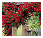 Cottage Farms 2-Piece Climbing Blaze Rose - M115172