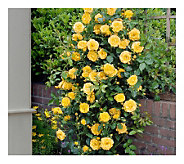 Cottage Farms 2-Piece Climbing Royal Gold Rose - M115174