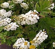 Robertas 1-Piece Ruby Slippers Oak Leaf Hydrangea - M61775