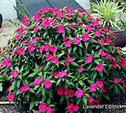 Cottage Farms 6-piece Color Jubilee SunPatiens Auto-Delivery - M62375