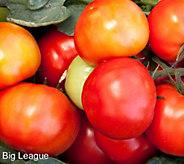 Robertas 6-Piece Patio Beefsteak Tomatoes - M61277