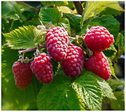 Cottage Farms Joan J Thornless Raspberry - M120478
