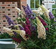 Cottage Farms Dazzling Designs Tri-Color Butterfly Bush - M62982