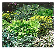 Cottage Farms Set of 6 Mixed Hostas - M100484