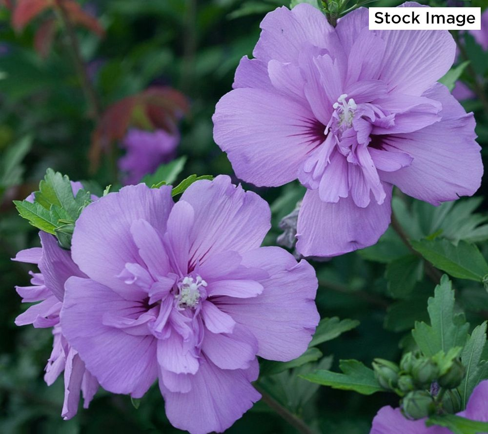 Cottage Farms 1 Piece Lavender Chiffon Rose Of Sharon Tree
