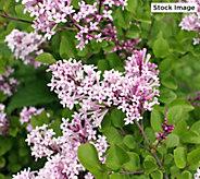 Robertas 1-Piece Summer Blooming Dwarf Lilac - M61686