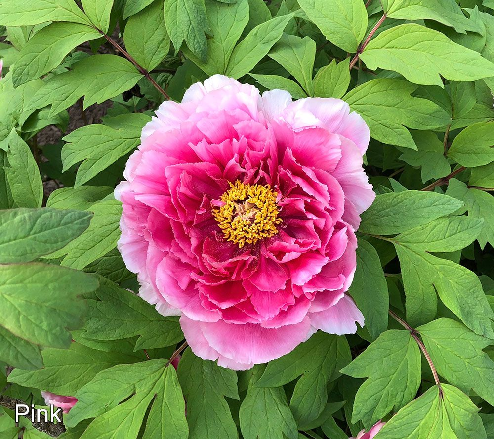 34047efeab Roberta s 1-Piece Non-Grafted Chinese Tree Peony - Page 1 — QVC.com