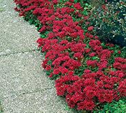 Barbara King 3-Piece Red Creeping Sedum - M65989