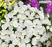 Robertas 6-Piece Wheels of Wonder Hardy Ice Plants - M61690