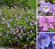 Cottage Farms 4-piece Shady Days Hardy Geranium Collection - M61293