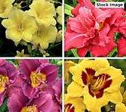 Cottage Farms 10-Piece Constant Color Perpetuals Daylilies - M61294
