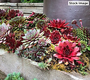 Robertas 7-Piece Hens & Chicks Hardy Succulent Collection - M61794