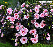 Cottage Farms 2-Piece Summer Elegance Hardy Hibiscus - M61299