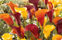 Roberta's 8-piece California Calla Lily with 10-oz. Flower Magic