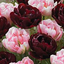 de Jager 24 x Supreme Paeony Flowering Tulips