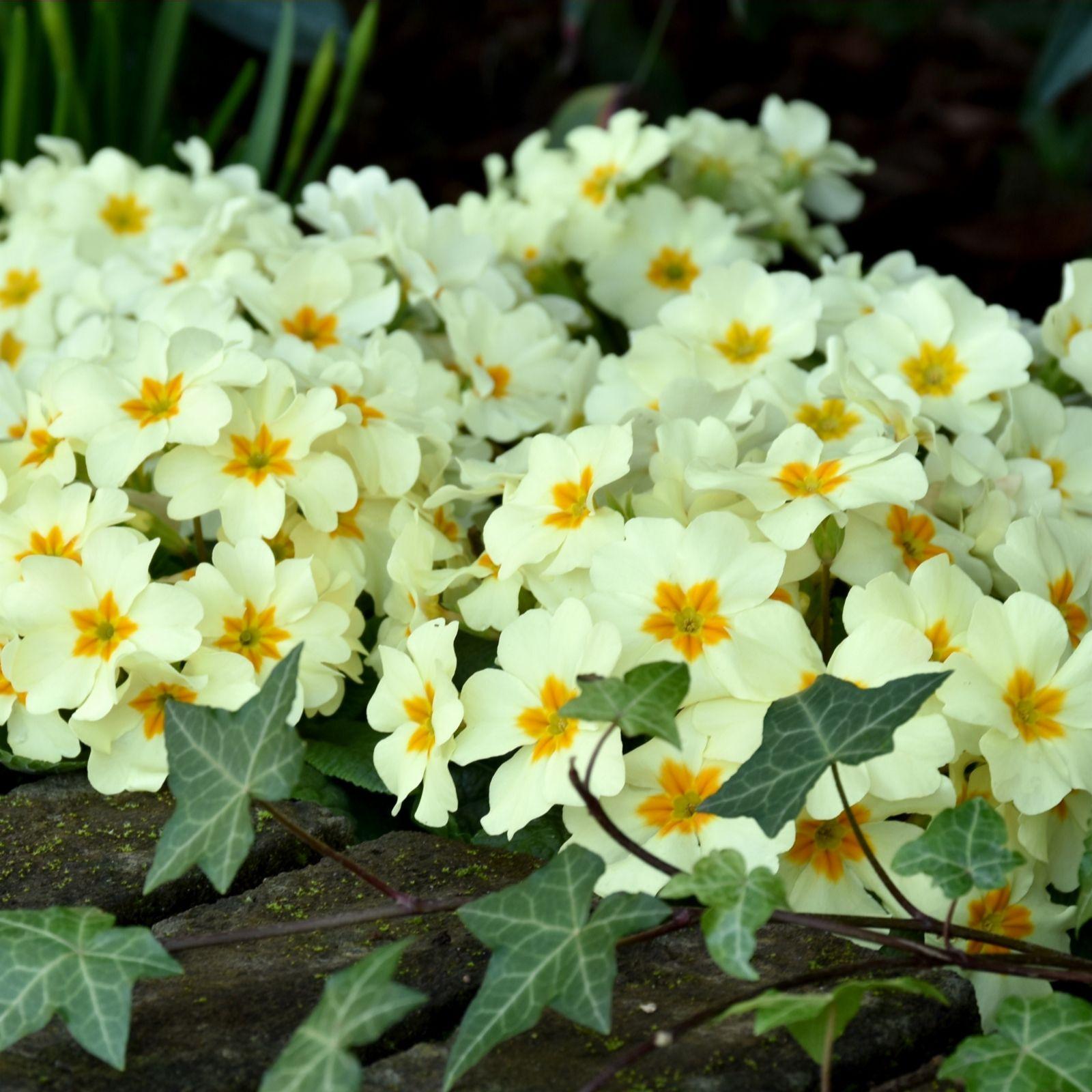 Richard Jackson's 15 x Primrose Everlast Garden Ready Plugs - QVC UK