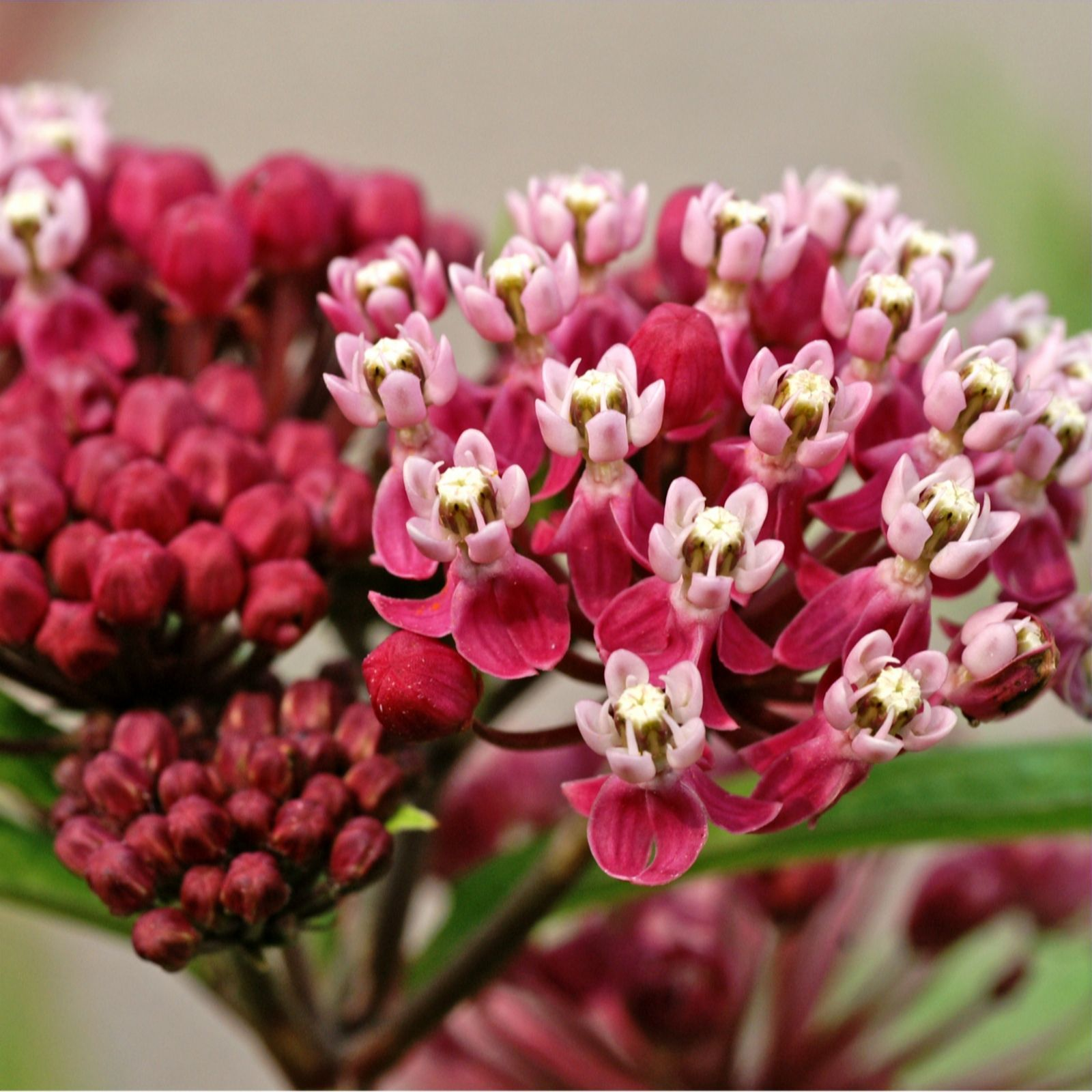 Mont Rose 3 x Asclepias Incarnata Soulmate Bare Roots - QVC UK