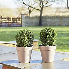 Plants2Gardens Set of 2 Topiary Box Balls  in 2 Litre Pots