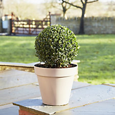 Plants2Gardens 30cm Box Ball with a 5 Litre Capri Planter