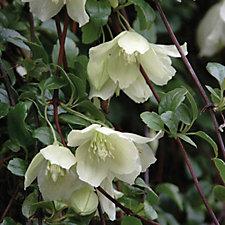 Hayloft Plants 2x Winter Flowering Clematis Wisley Cream 9cm Pots
