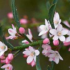 Hayloft Plants Eriostemon Myoporoides The Gin & Tonic Plant in 9cm Pot